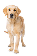 Six months old golden retriever dog standing on black background isolated on white background