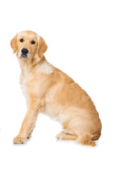 Six months old golden retriever dog sitting isolated on white background