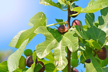 A branch of fig tree. As figs grow.