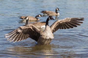 Canada goose in Portland