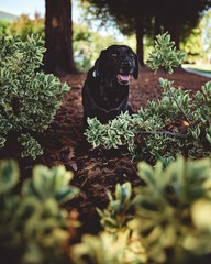 close-up photography of adult Labrador retriever surrounded by plants
