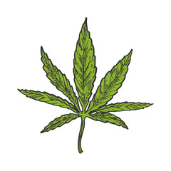 Narcotic cannabis leaf color sketch engraving vector illustration. Scratch board style imitation. Black and white hand drawn image.