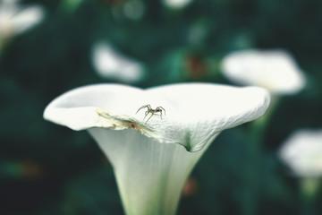 black spider on white callalily flower