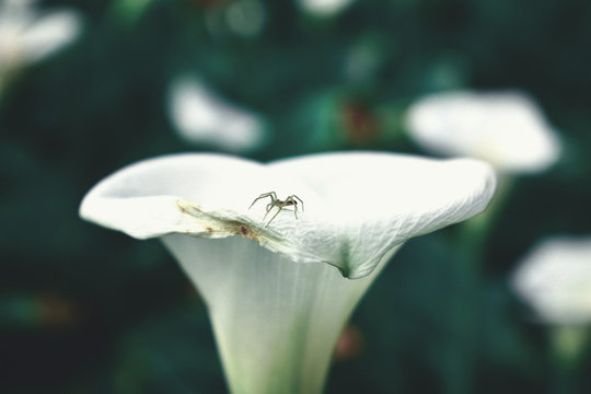 black spider on white callalily flower