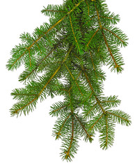 Magnificent branches of a Christmas tree isolated. New Year's decor. Traditions. Green branch of pine.