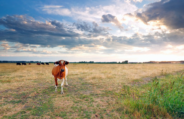 Wall Mural - brown cow on pasture in summer