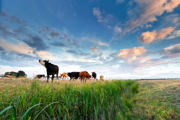 Wall Mural - few cows on green pasture over blue sky