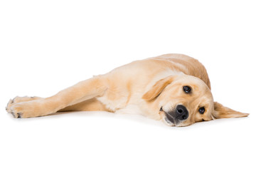 Six months old golden retriever dog lying on black background isolated on white background