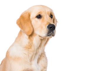 Six months old golden retriever dog isolated on white background