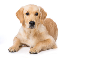 Lying golden retriever puppy isolated on white