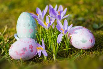 Purple crocuses with easter eggs in a spring meadow