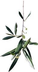 Fototapeta Gałązka oliwna obraz