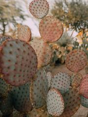bunny ears cactus plant