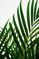 palma, liść