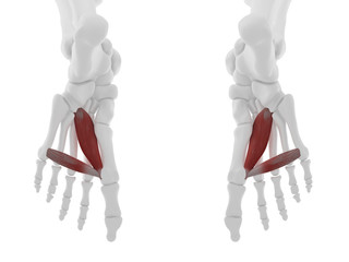 3d rendered medically accurate illustration of the Adductor Hallucis
