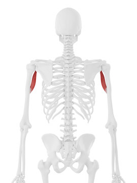 3d rendered medically accurate illustration of the Coracobrachialis
