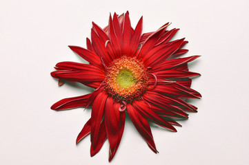 Foto op Canvas Gerbera Beautiful large red flower Gerber with petals on a white background. Flower Gerber, copy space
