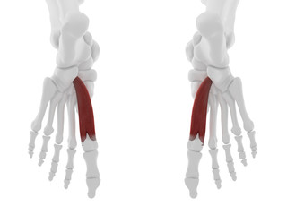 3d rendered medically accurate illustration of the Flexor Hallucis Brevis