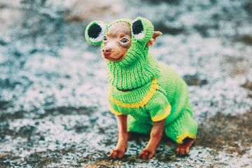 Chihuahua Dog Dressed Up In Frog Outfit, Staying Outdoor In Cold Weather