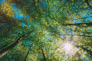 Spring Summer Sun Shining Through Canopy Of Tall Trees Woods. Upper Branches Of Trees