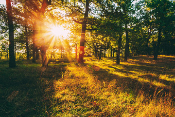 Sunset In Forest Trees. Natural sunlight sunshine in woods. Very sunny sunrise with sun rays through woods trees in summer forest