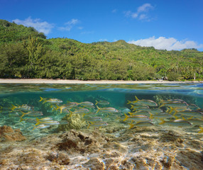 French Polynesia, Rurutu island luxuriant coastline with a school of fish underwater, south Pacific, Austral archipelago, split view half over and under water