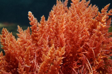 Harpoon weed red algae Asparagopsis armata underwater in the Mediterranean sea, Spain