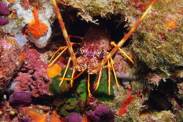 A spiny lobster underwater in the Mediterranean sea, France