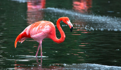 Foto op Plexiglas Flamingo A Caribbean flamingo (also called American flamingo, Phoenicopterus ruber) wading in a pond.