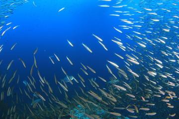 Fototapete - Sardines and tuna fish
