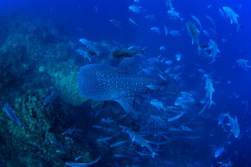 Whale Shark swims over coral reef