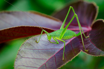 Image of family Tettigoniidae(Mirollia hexapinna) are commonly called katydids or bush-crickets on leaves. Insect. Animal