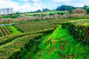 Landscape of tea plantations in San Miguel, Azores Islands.