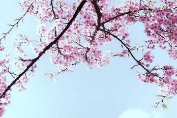 Wall Mural - Soft focus Cherry Blossom or Sakura flower on nature background