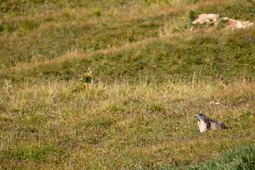 Ein Murmeltier rechts am Bildrand auf einer Hochweide auf dem Großglockner