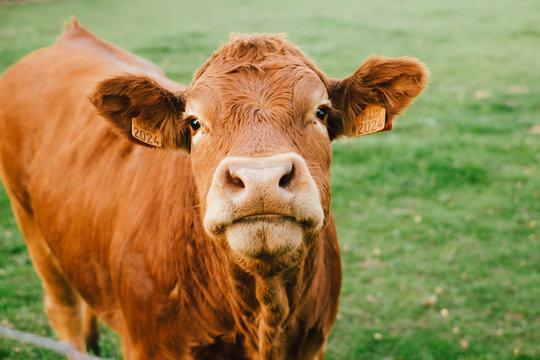 Vache limousin qui regarde face à la caméra dans un champs