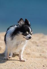 夏の海の砂浜にいる可愛いチワワ