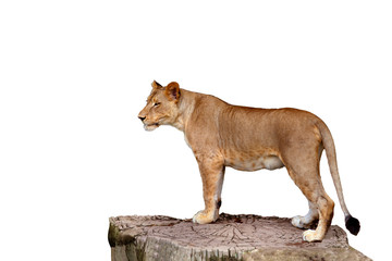 full body of lioness standing on large tree stump isolate white background