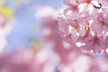 二ヶ領用水の河津桜(1)