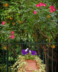 huge flower pot in mediterranean garden, with violet pansies, red roses and orange fruit trees