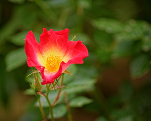 lonely red wild rose flower on vibrant green foliage background