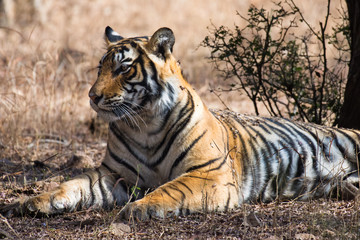 Bengal tiger (Panthera tigris tigris) relaxing in Ranthambore National Park