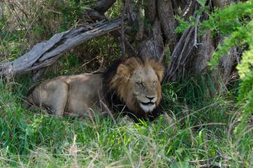 Lion, mâle, Panthera leo,