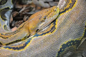 Close up yellow python. Soft selective focus. Boa snake.