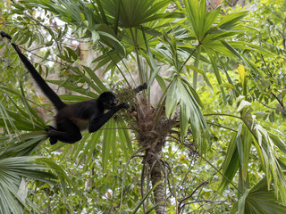Spider Monkey, Ateles geoffroyi, chooses only ripe fruits in the rainforest, Guatemala