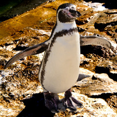 Humboldt penguin with open wings