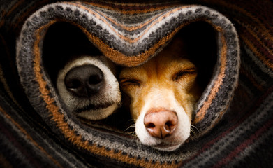 Foto auf AluDibond Crazy dog dogs under blanket together