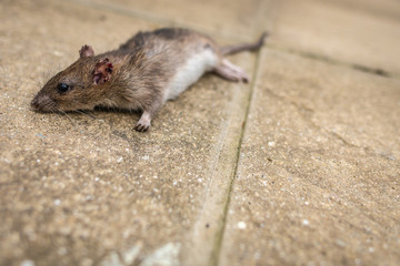 A dead mouse or rat in the back yard