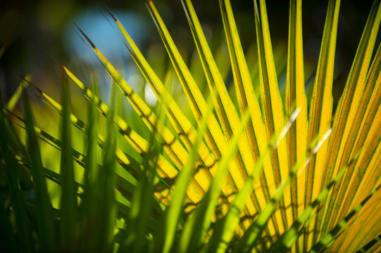 Bright natural background of green saw palmetto fan palm fronds in bright tropical sunlight