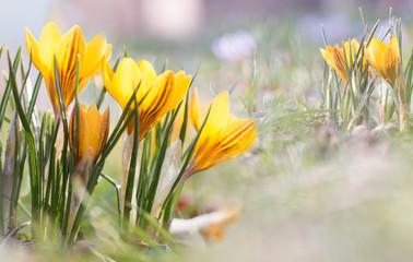 Poster Krokussen Krokuswiese im Frühling